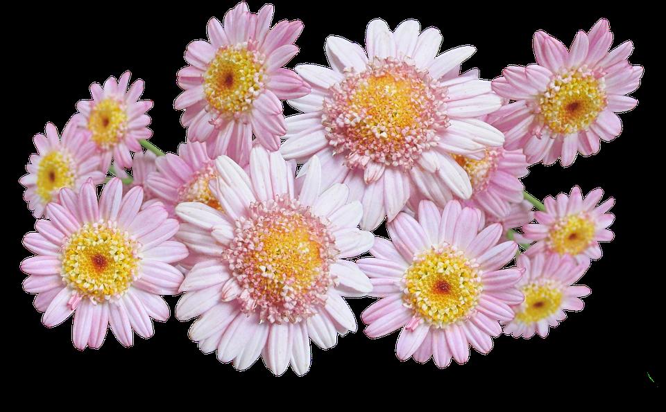 daisies pink  u00b7 free photo on pixabay