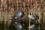 animal, pond, waterside