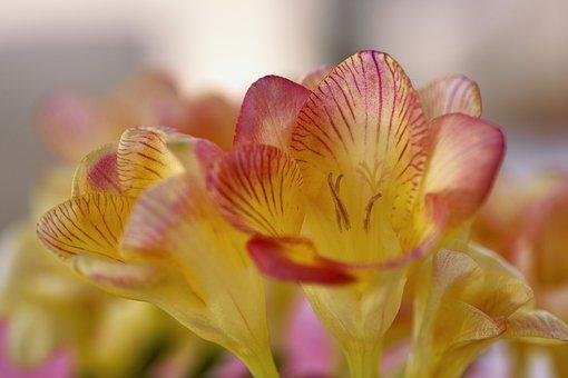 Freesia, Flower, Blossom, Bloom, Plant