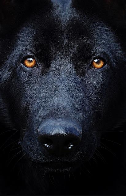 Black German Shepherd Eyes Dog 183 Free Photo On Pixabay