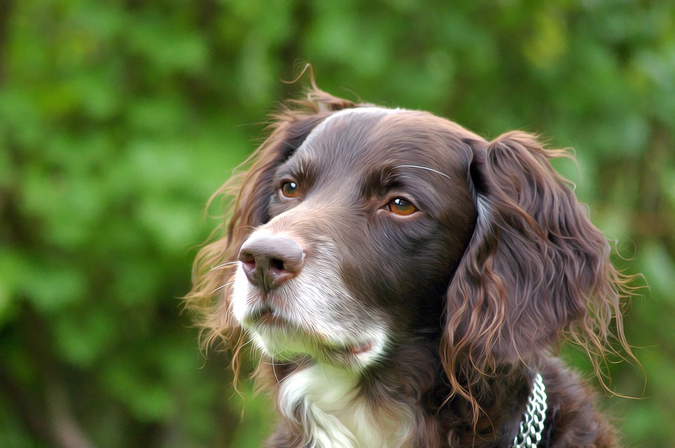 Dog, Münsterländer, Pet, Hide Nose, Purebred Dog