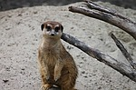 meerkat, mongoose