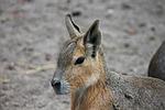 hare, rabbit ears