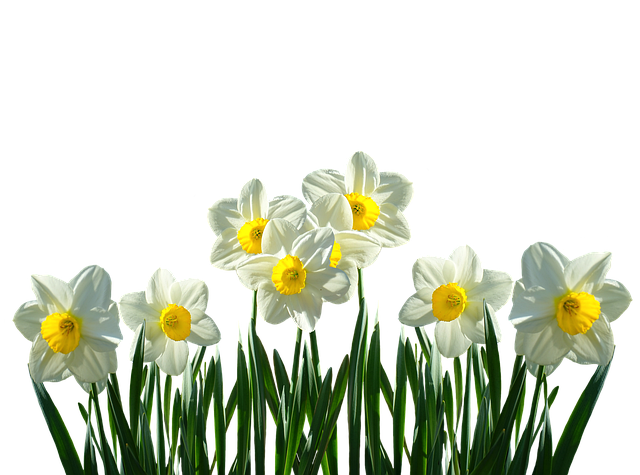 daffodils osterglocken spring 183 free photo on pixabay