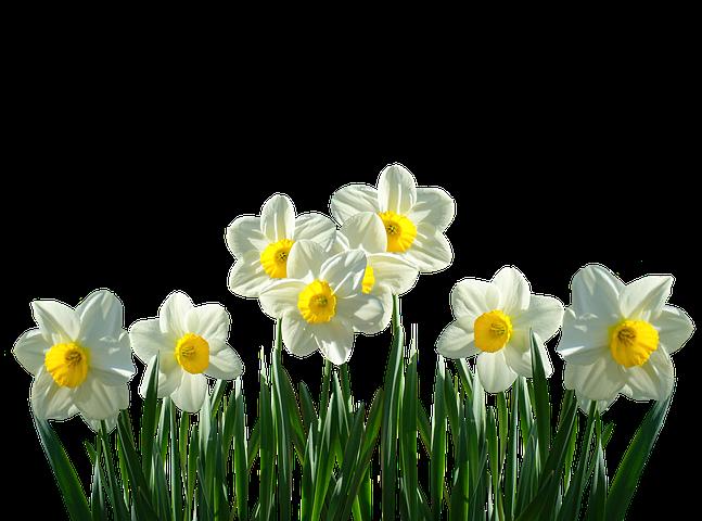 Narzissen, Osterglocken, Frühling