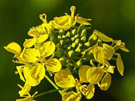 Mustard Flower, Mustard, Autumn Plant