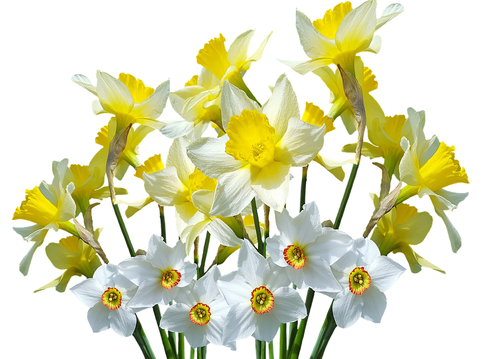 Spring, Daffodils, Easter Bells, Easter, Spring Flowers