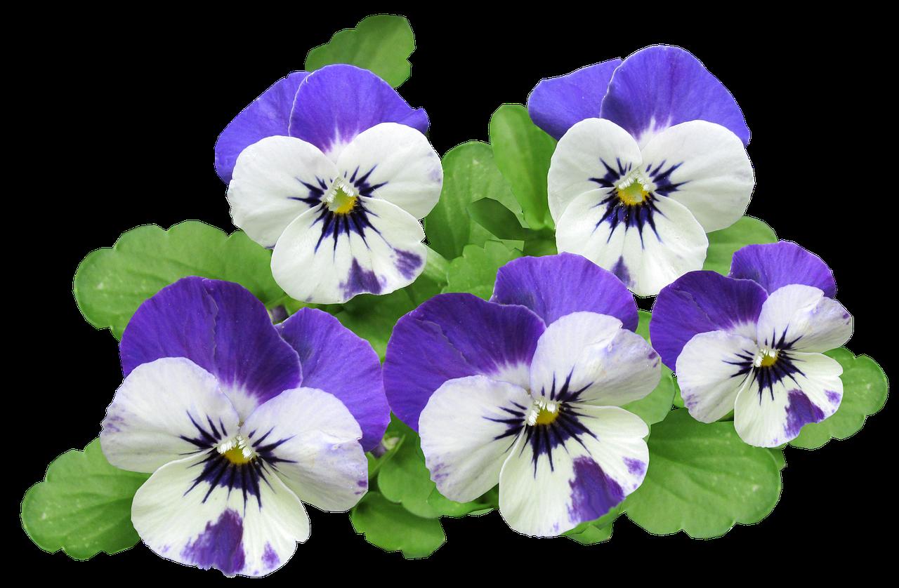 Картинки лет, картинка анютины глазки цветок на белом фоне
