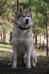 siberian husky, forest