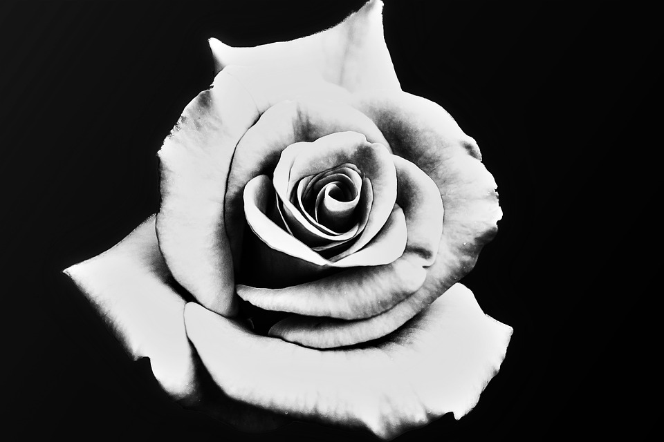 Rose black and white white black flower floral