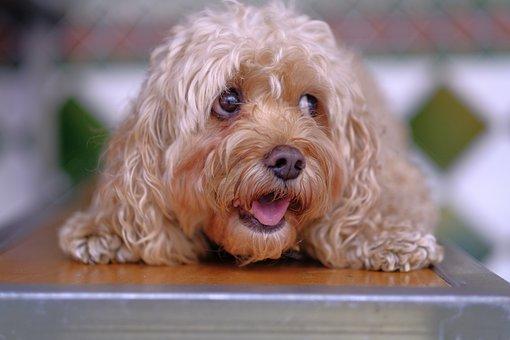 Gorgeous, Puppy, Eyes, Cute, Dog