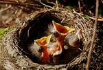 nest, chicks, bird's nest
