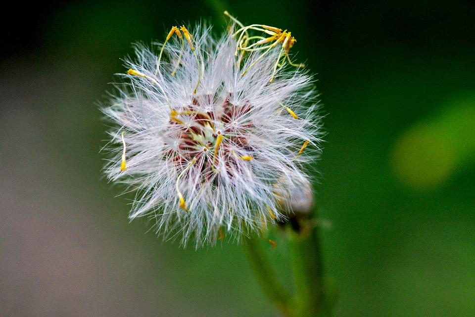 Unkraut Australien Pflanze · Kostenloses Foto auf Pixabay