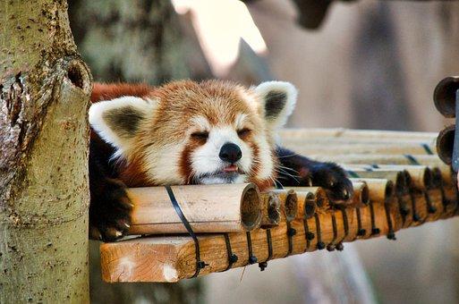 レッサー パンダ, 動物園, 昼寝, 動物, かわいい, 哺乳動物, ツリー