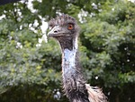 emu, nature