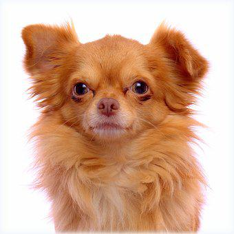 Ginger, Dog, Chihuahua