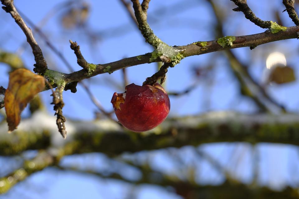 Frost Apfel