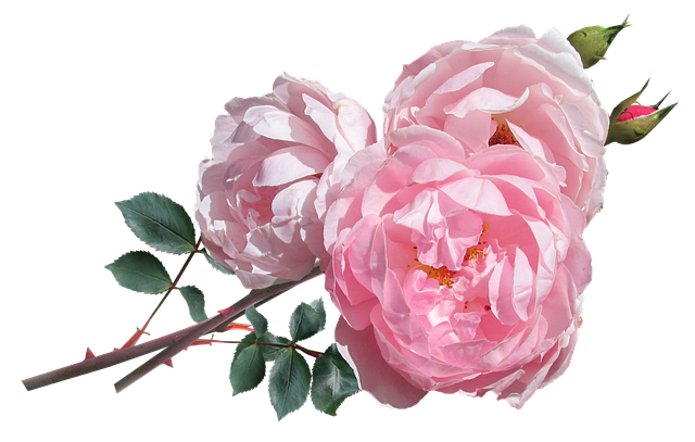 Rose Pink David Austin · Free Photo On Pixabay