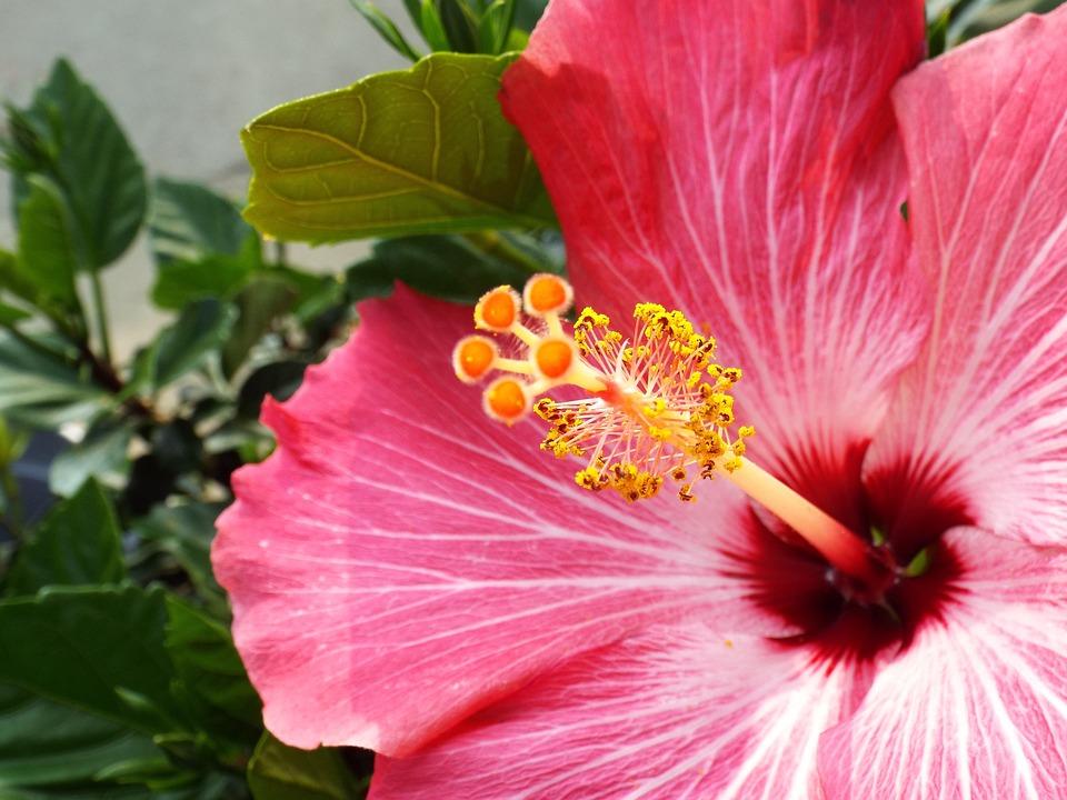 Kembang Sepatu Warna Merah Muda Foto Gratis Di Pixabay