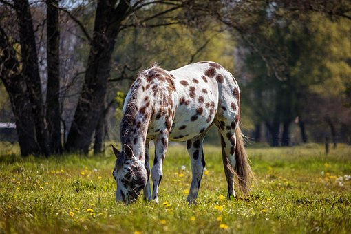 Horse, Appaloosa, Nature, Animal