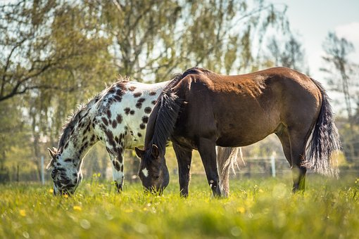 Horse, Appaloosa, Nature, Animal