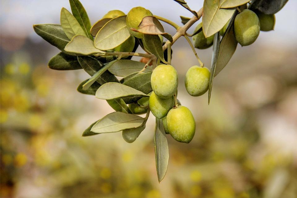 Berühmt Oliven Bäume Obst - Kostenloses Foto auf Pixabay @UB_68