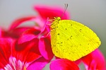butterfly, insects