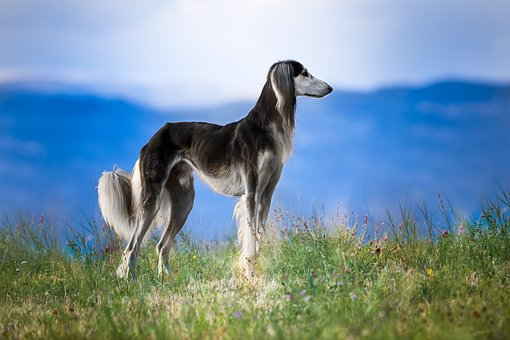 Dog, Pet, Pets, Saluki, Hairy, Nature