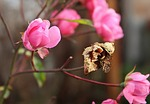 rose, autumn, flower