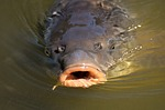 carp, fish, water