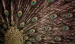 wheel, plumage