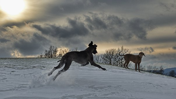 Two Dogs, Running Dog, Great Dane