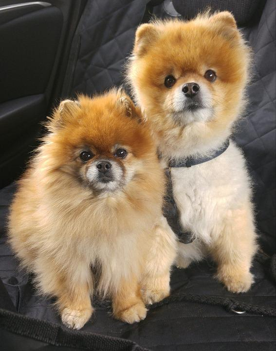 Pomeranian Dogs For Free