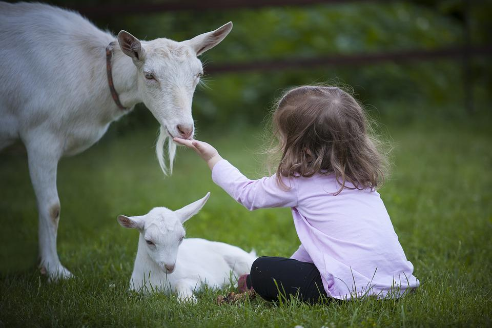 Criança pequena sentada na grama estendendo a mão para uma cabra. Outra cabra menor está deitada em frente à criança.
