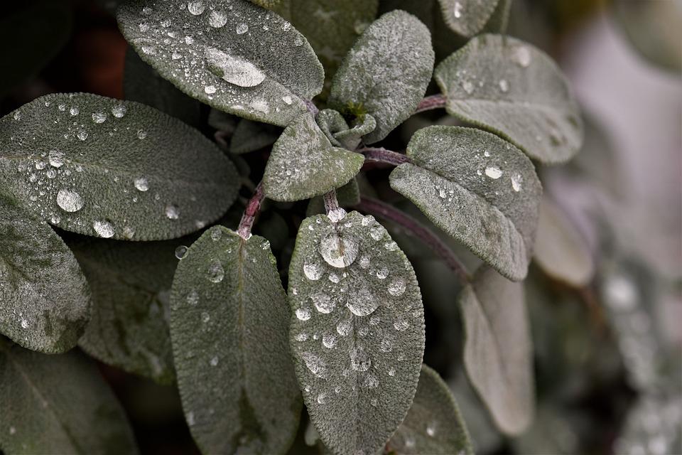 Sage, Plantes, Goutte De Pluie, Goutte De Rosée, Vert