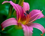 flower, lily