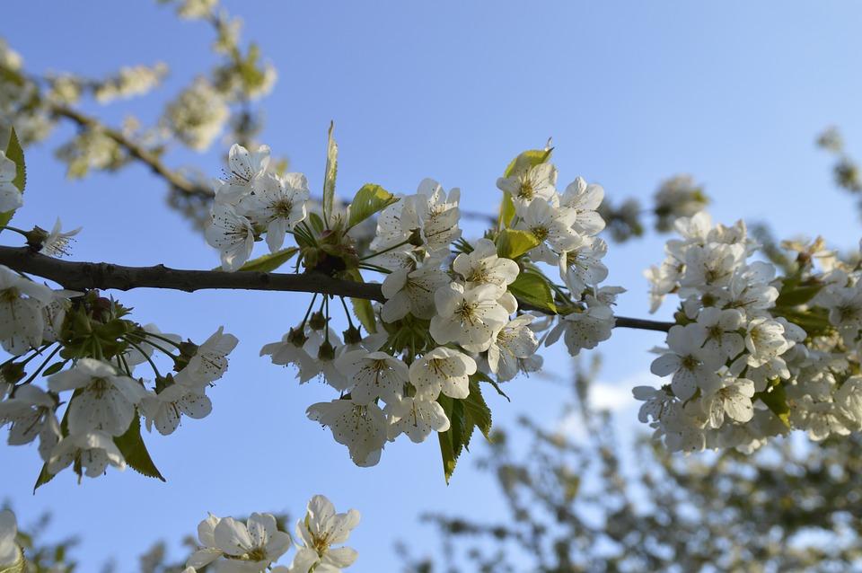 Los Cerezos En Flor Cerezo Foto Gratis En Pixabay
