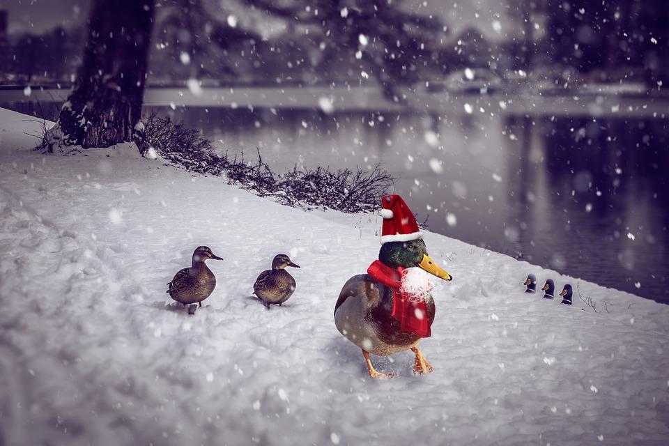 christmas christmas duck photomontage advent - Christmas Duck