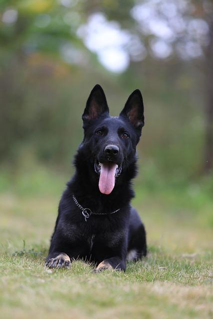 german shepherd black ddr  u00b7 free photo on pixabay