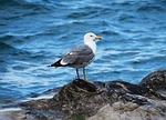 seagull, volatile, sea