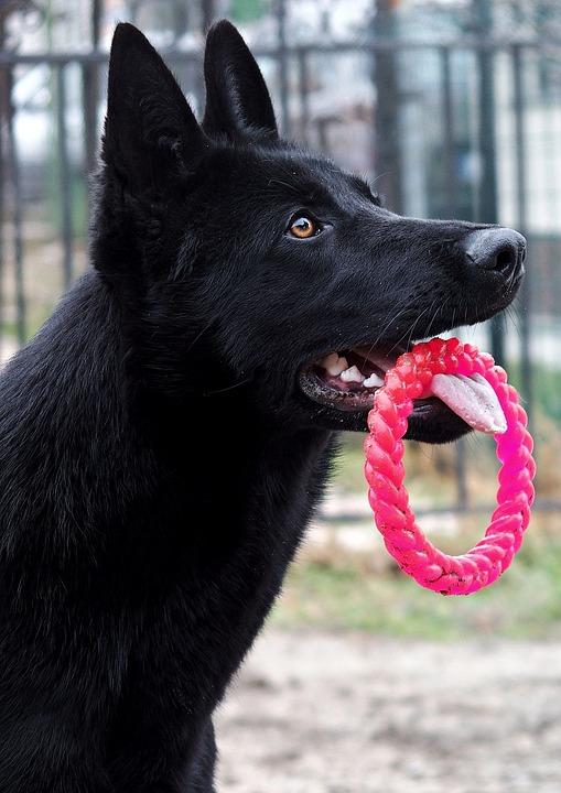 Schwarz Deutscher Sch 228 Ferhund Hund 183 Kostenloses Foto Auf