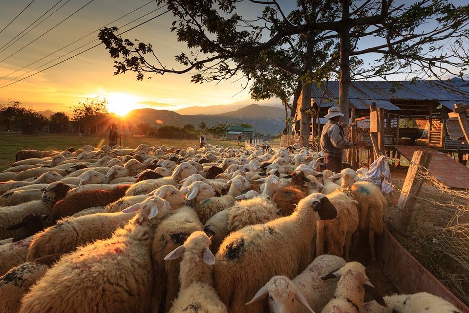 Ovelhas, Pastor, Agricultor, Ninh Thuan, Rebanho