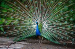 peacock, green, feathers