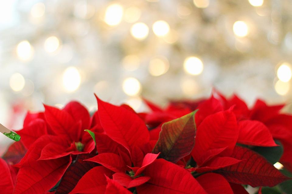 ポインセチア, クリスマス, クリスマスの背景, 赤, お祝いの, 自然, 葉, 植物, 花, シーズン
