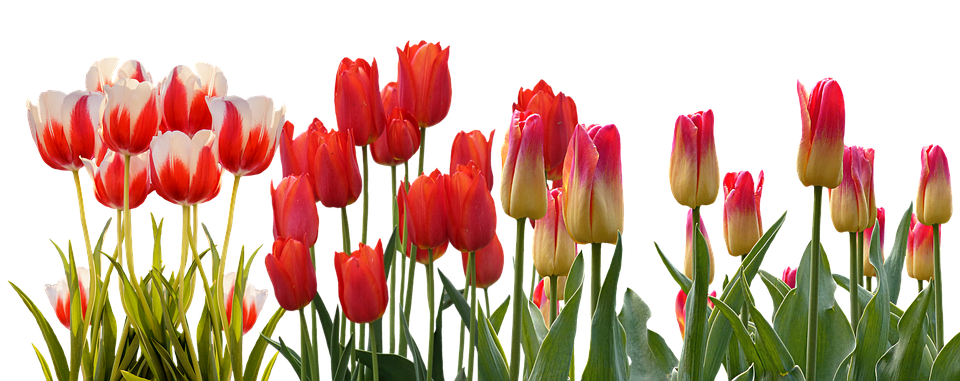 Tulip spring nature free photo on pixabay tulip spring nature flower color plant garden mightylinksfo