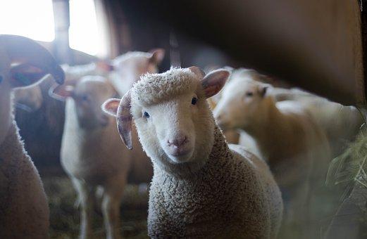 Sheep, Animal, Farm, Mammal, Nature