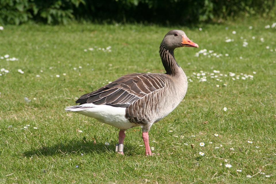 goose expensive natural free photo on pixabay