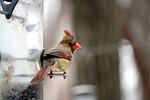 cardinal, bird, feeder