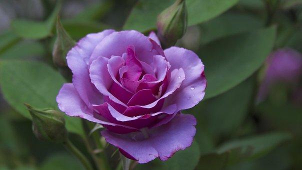 Souvent Belles, Fleurs - Images gratuites sur Pixabay ON76