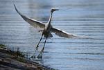 heron, bird, flight